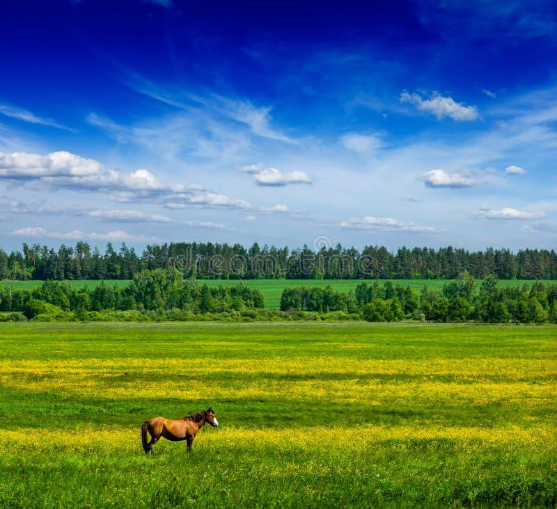 Lanscape пейзажа поля зеленого цвета лета весны с лошадью стоковые изображения