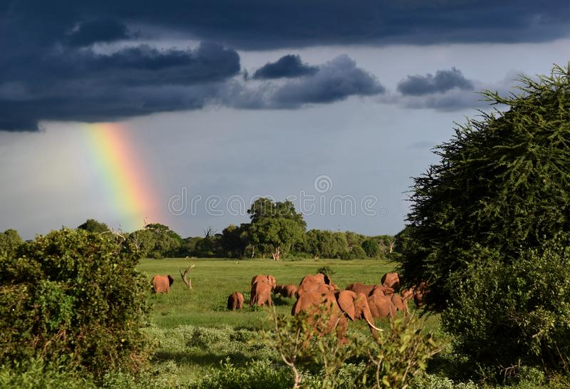Lanscape après tempête sur la savane, éléphants rouges africains sous l'arc-en-ciel, grands nuages orageux photographie stock