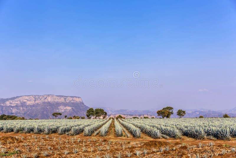 Lanscape d'agave de tequila image stock