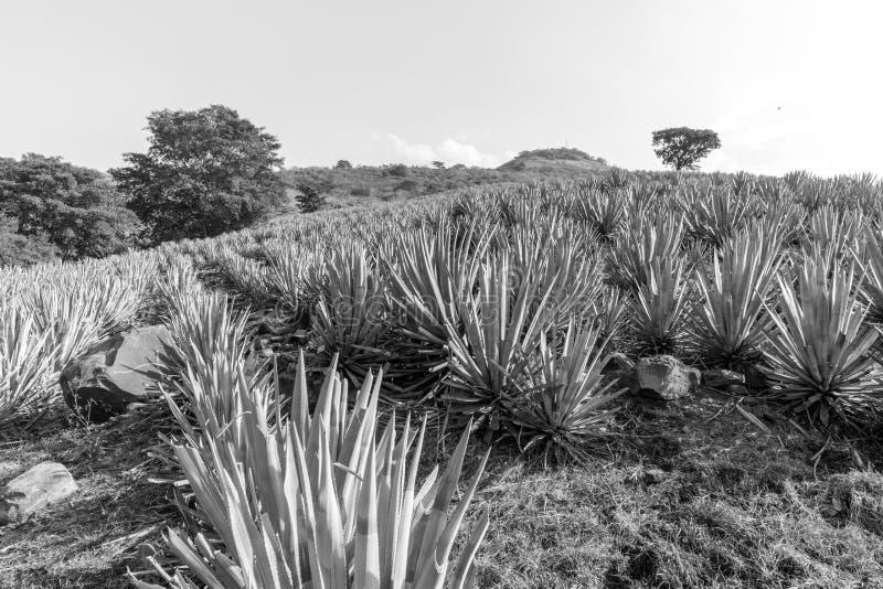 Lanscape d'agave de tequila images stock