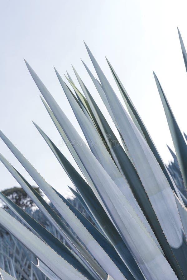 Lanscape d'agave de tequila photo stock