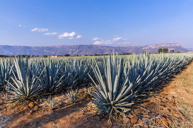 Lanscape da agave do Tequila fotos de stock