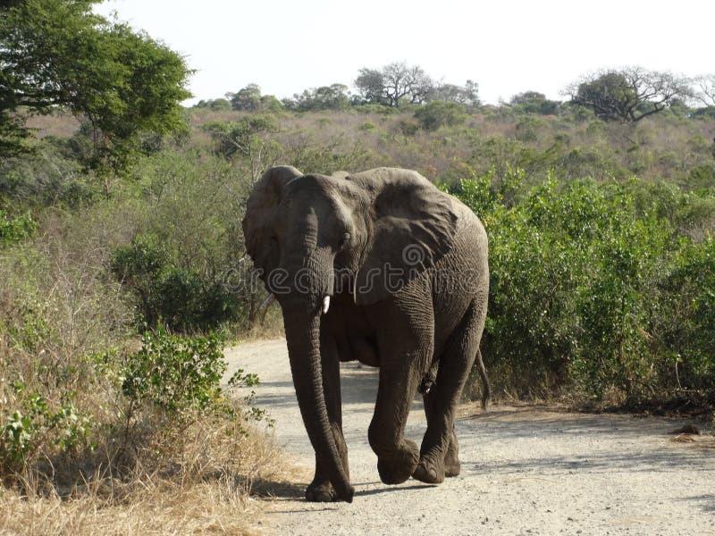 Lanscape e animais selvagens de África do Sul no parque 1 do kruger fotos de stock
