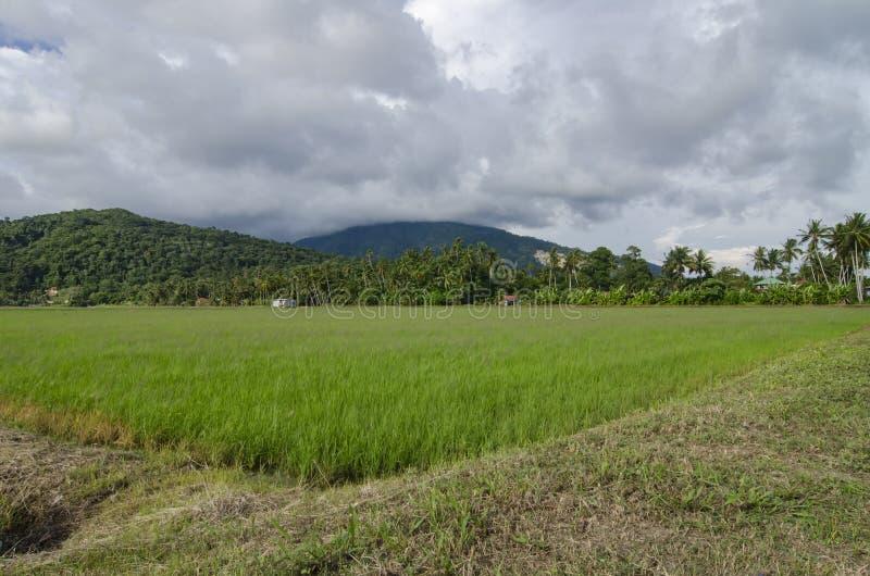 Lanscape hermoso del campo de arroz durante la cosecha sobre fondo del cielo azul imagen de archivo libre de regalías