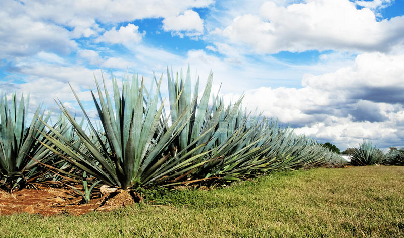 Lanscape tequila Mexico obrazy royalty free