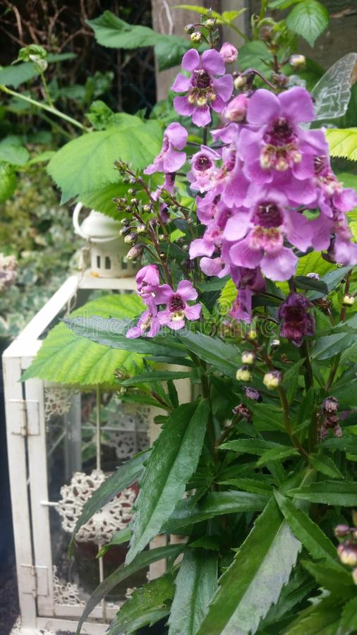 Lantaarn met angelonias royalty-vrije stock fotografie