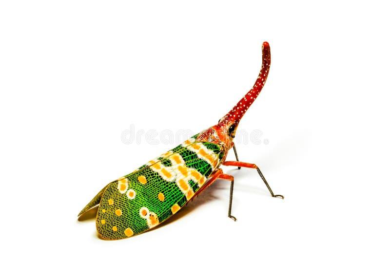 Lantaarnvlieg op witte achtergrond royalty-vrije stock foto