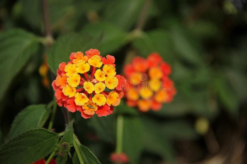 Lantana fotos de stock