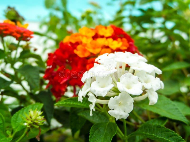 lantana biały i czerwony czysty żółty pomarańczowy kolorowy brzmienia piękno fl obraz royalty free
