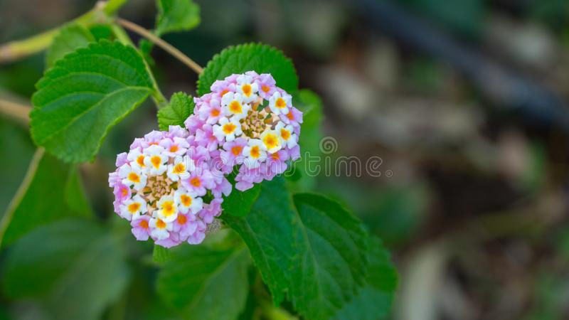 Lantana camara Beautiful small flowers tickberry and green leaves royalty free stock photography