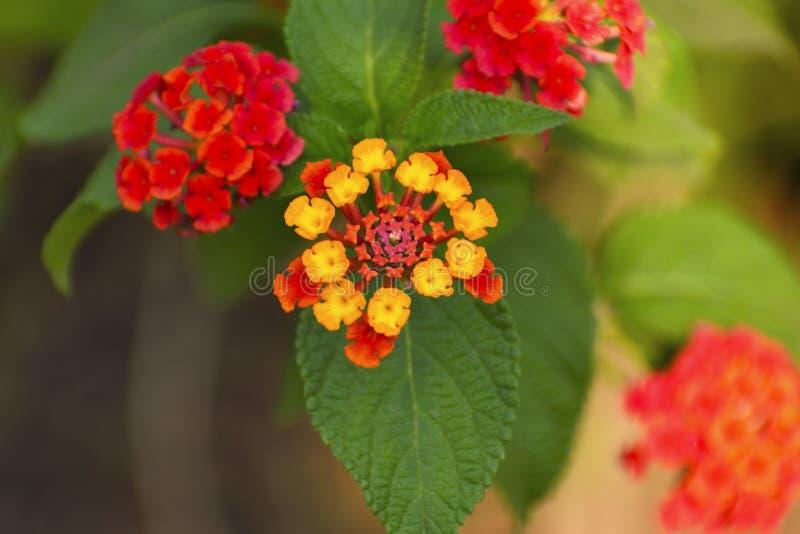 Lantana Camara, blommaväxt för röd färg, Pune Maharashtra royaltyfria foton