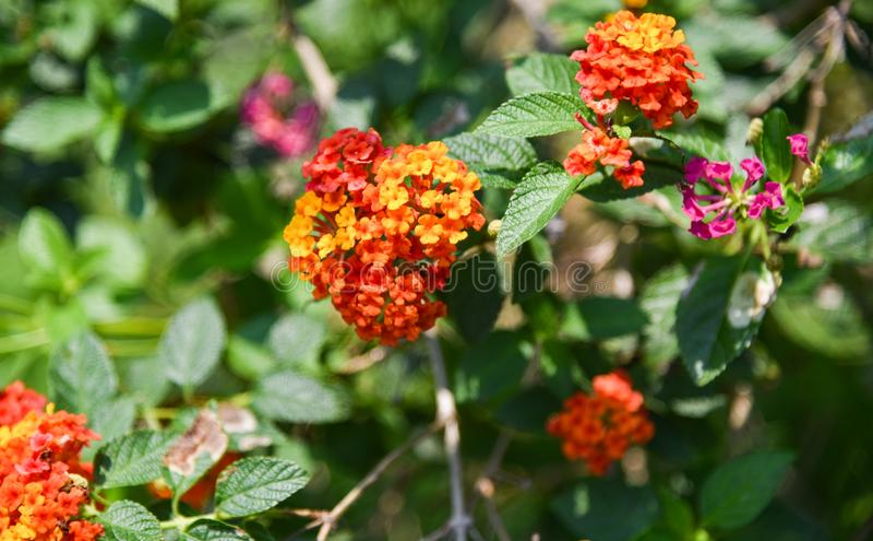 Lantana Camara Flower imagen de archivo libre de regalías