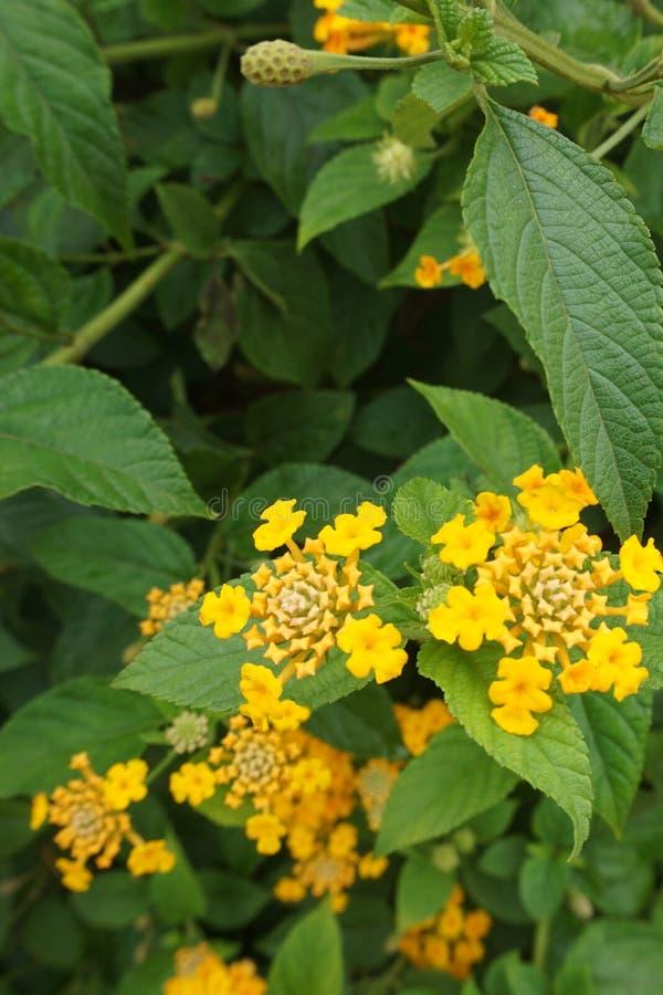 Lantana camara kolor żółty fotografia stock