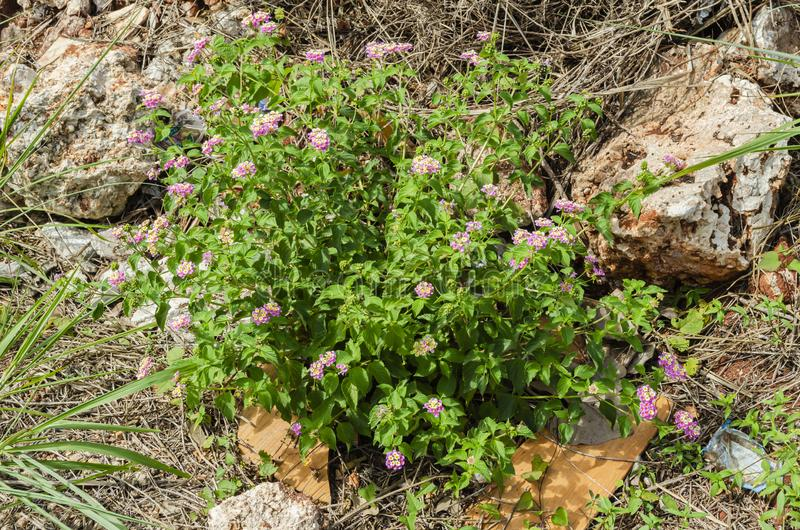 Lantana Camara Plant Growing Beside Rocks immagini stock