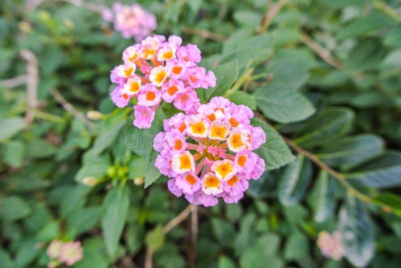 Lantana Camara a species of flowering plant royalty free stock image