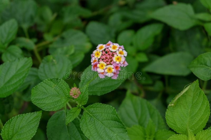 Lantana camara is a species of flowering plant within the verbena family, native to the American tropics. top view. Indonesia stock photos