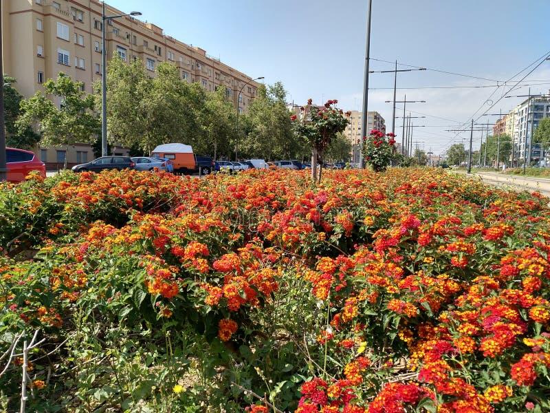 Lantana camara in Valencia`s spring time stock images