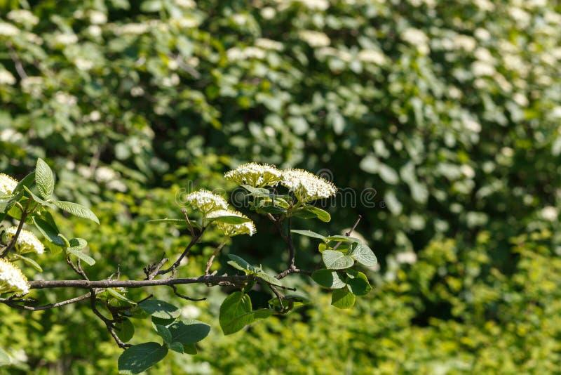 Lantana de Viburnum Fleurs blanches étroites avec le fond vert Nature, fleurs, environnement, parcs et jardins image libre de droits