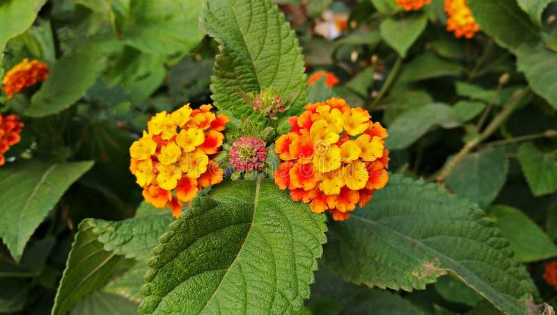 Lantana flower stock photo