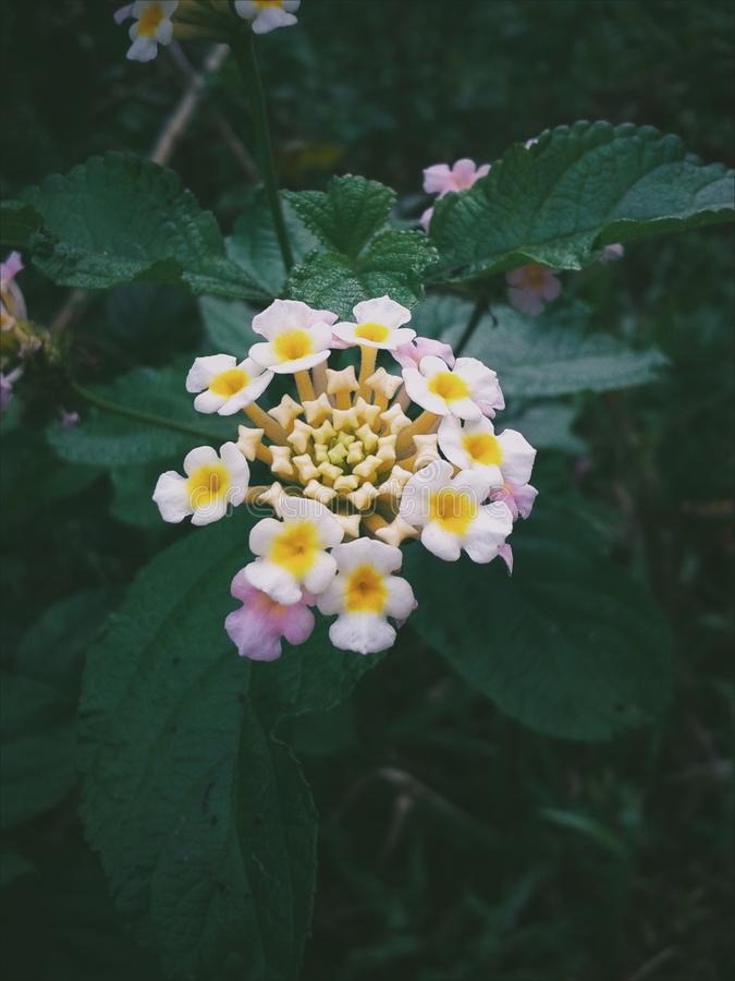 Lantana flower stock photos