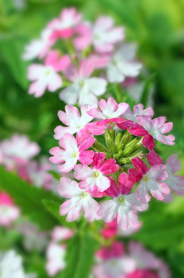 Download Lantana stock photo. Image of botanical, garden, brushwood - 33655896