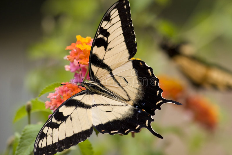 lantana swallowtail tiger fotografering för bildbyråer