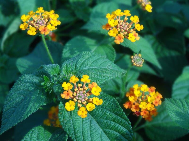 Lantanablume mit Blatt und Stamm lizenzfreie stockbilder