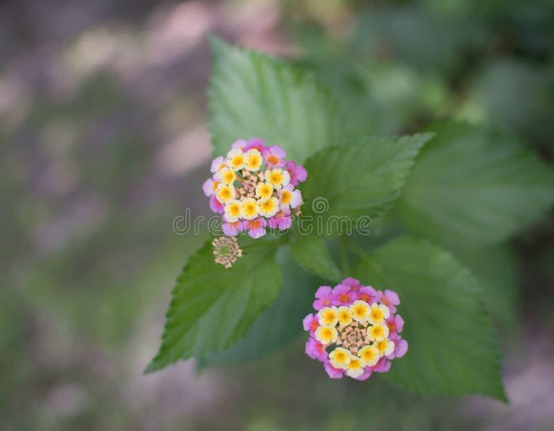 Lantanacamara, färgrik häckblomma royaltyfria foton