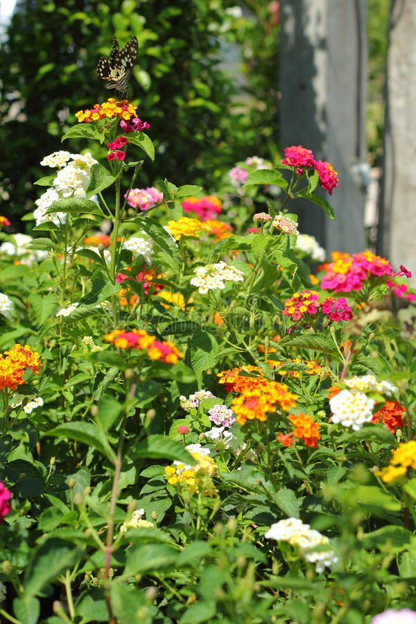 Lantanacamara - fjärilssvärmGaysorn blommor. royaltyfria foton
