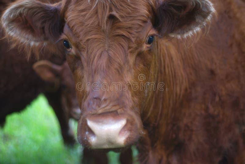 Lantbruk för mejeri för closeup för djur för lantgård för kobruntframsida nötkreaturs- åkerbrukt arkivfoton