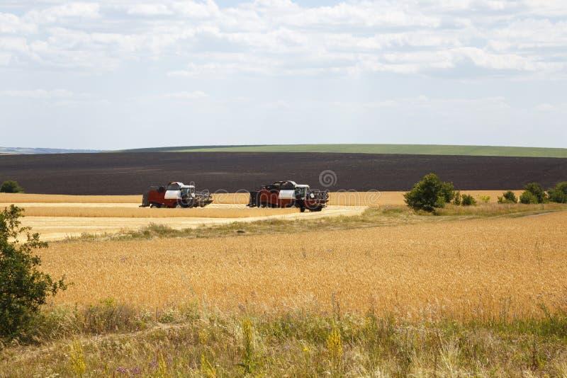 Lantbruk jordbruk Säsong av att skörda korn, sädesslag Två skördearbetare som arbetar i fältet på skörden av moget vete royaltyfri fotografi