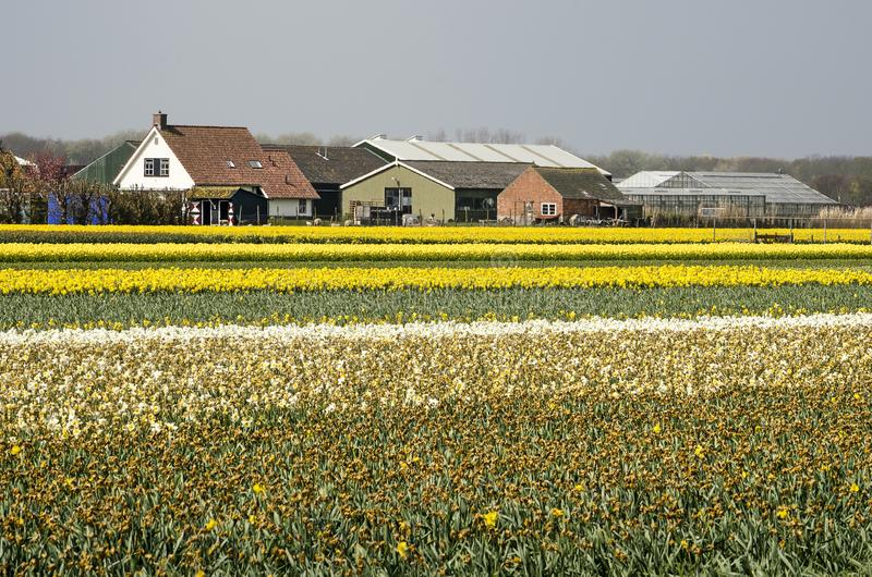 Lantbrukarhem och blommafält i Holland royaltyfria foton