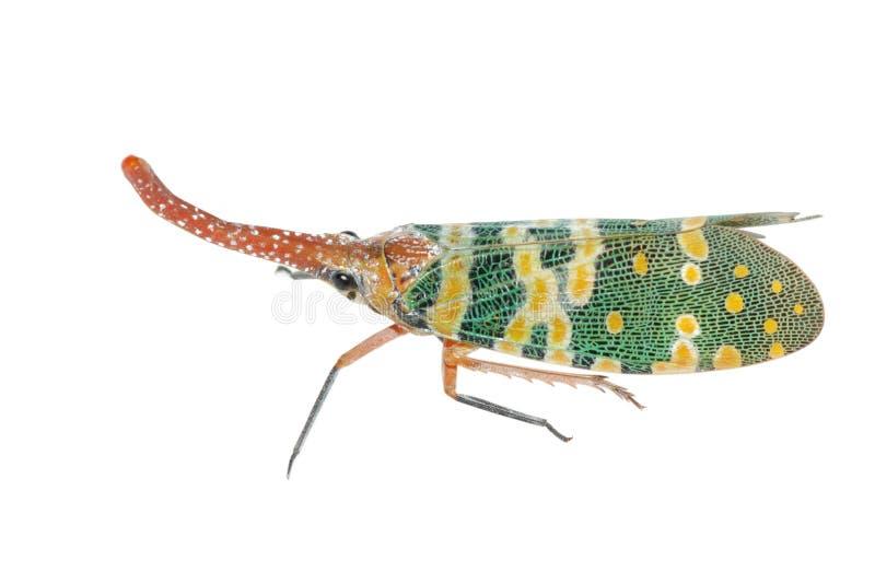 Lantern fly sting bug stock images