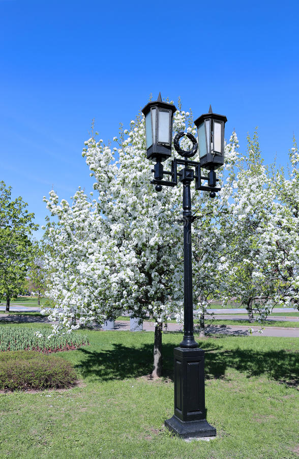 Lanterna velha no jardim de florescência da pera fotografia de stock royalty free