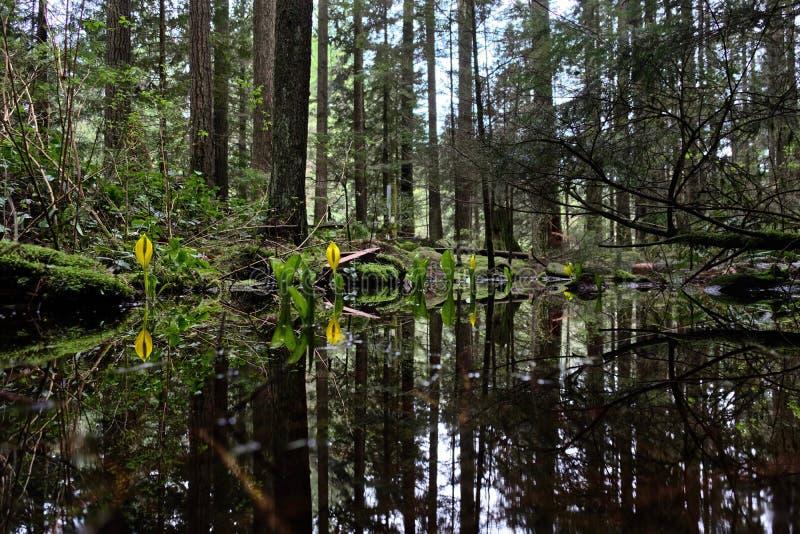 Lanterne occidentali del cavolo o della palude di moffetta nella foresta pluviale bagnata fotografie stock libere da diritti