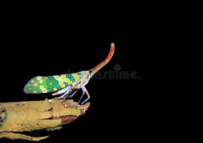 lanternfly昆虫 免版税库存图片