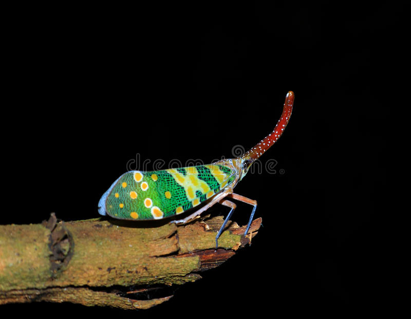 Lanternfly colorful insect ,Asian Thailand stock image