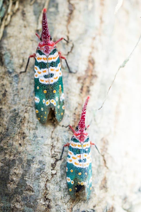 Lanternfly, das Insekt auf Baum stockbilder