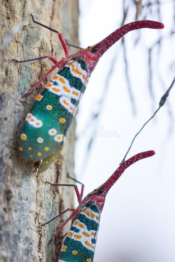 Lanternfly, das Insekt auf Baum stockbild