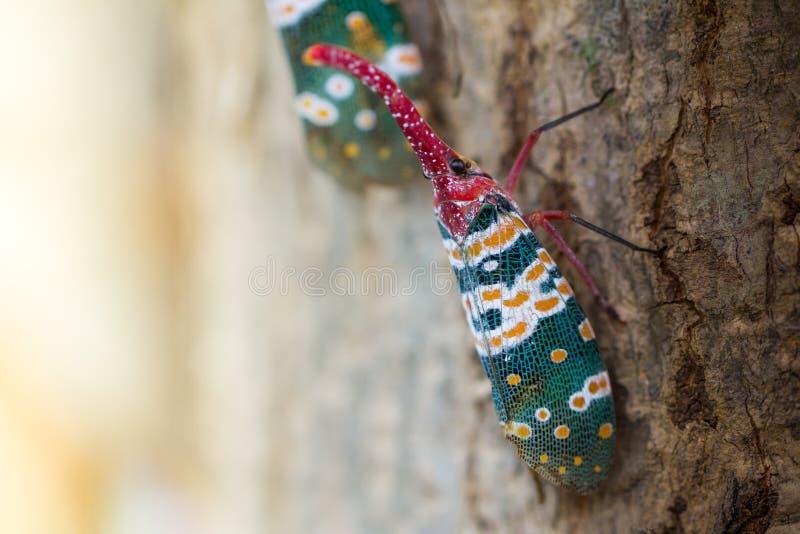 Lanternfly, das Insekt auf Baum lizenzfreies stockfoto