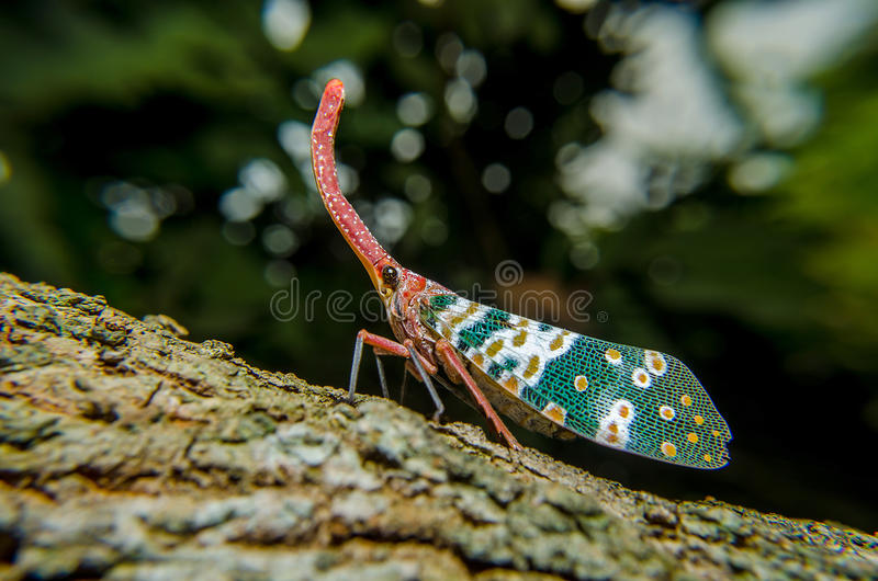 Lanternfly, das Insekt auf Baumfrüchten lizenzfreies stockbild