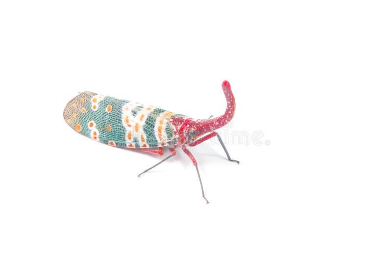 Lanternfly, das Insekt auf Baumfrüchten stockbild