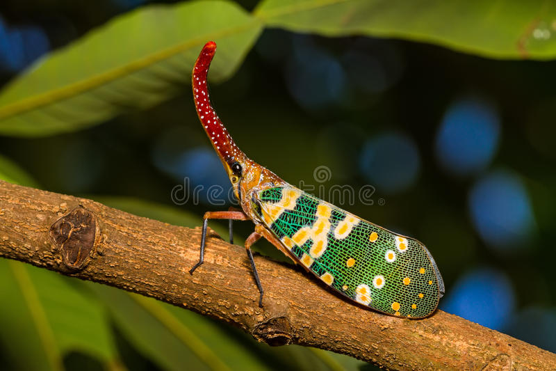 Lanternfly, el insecto en árbol en bosques tropicales fotos de archivo
