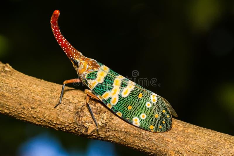 Lanternfly, het insect op boom in tropische bossen stock afbeelding