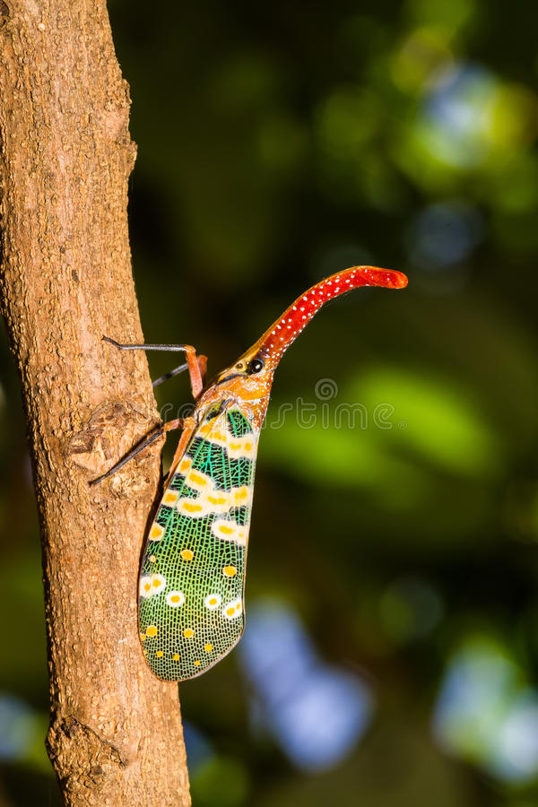 Lanternfly, the insect on tree in tropical forests royalty free stock image