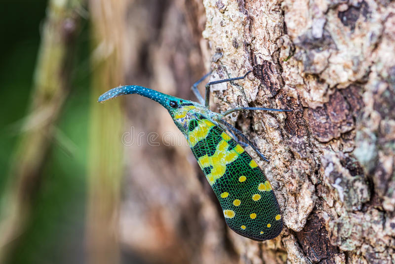 Lanternfly. royalty free stock photography