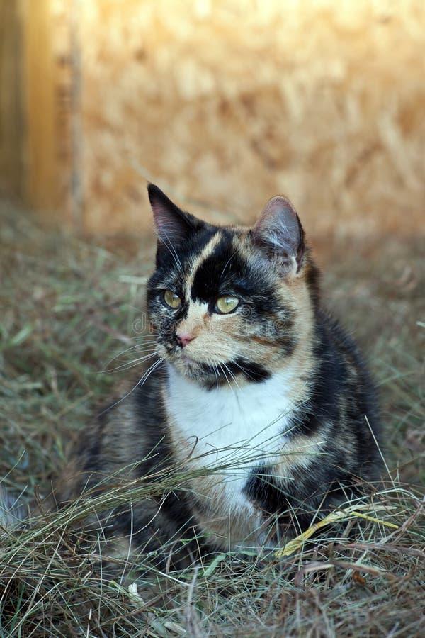 Lantgård Cat Hunting i höet arkivbilder
