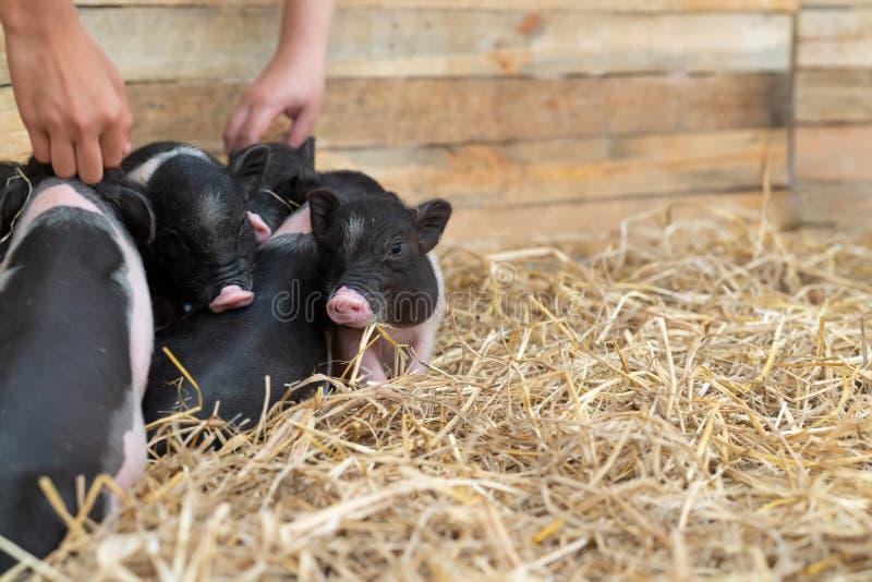 Lantgårddjur: Den roliga prickiga spädgrisen som är gullig behandla som ett barn Kruka-buktade svin i en lantgård royaltyfri bild