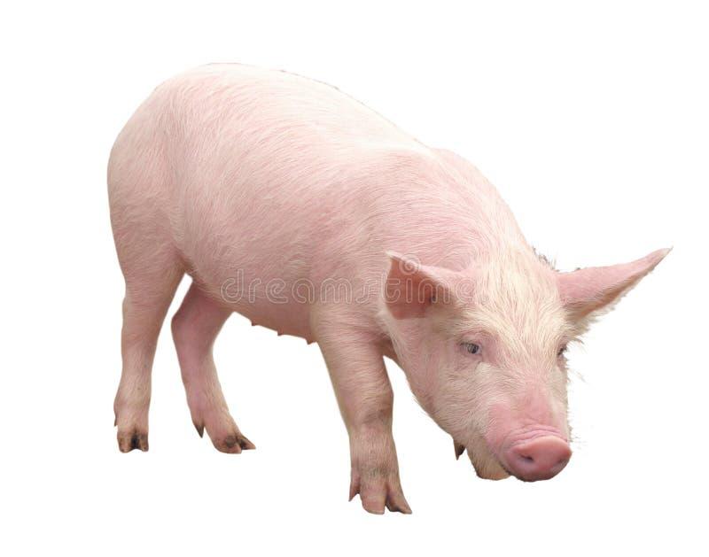 Lantgårddjur - svin som föreställs på en vit bakgrund - bild royaltyfri fotografi