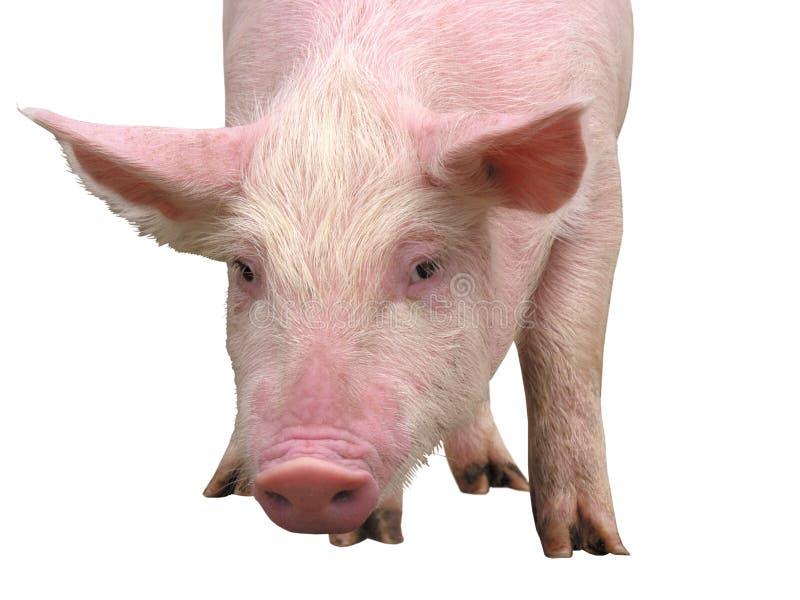 Lantgårddjur - svin som föreställs på en vit bakgrund - bild royaltyfria foton